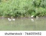 Ducks And Gooses On River