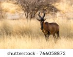 Red Hartebeest Eating Dry Gras...