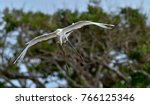 great egret in flight. ardea... | Shutterstock . vector #766125346