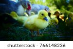 Baby Ducklings Taking Their...