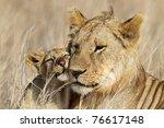 Young lion male babysitting cub, Serengeti National Park, Tanzania - stock photo