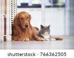 Stock photo golden retriever and british short hair cat 766362505
