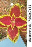 Small photo of Colored coleus plants