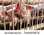 pigs on a farm | Shutterstock . vector #766405876