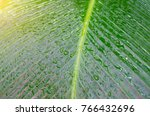 close up dumb cane leaves or... | Shutterstock . vector #766432696