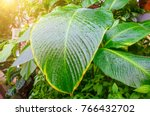 close up dumb cane leaves or... | Shutterstock . vector #766432702