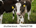 portrait of one calf  they look ... | Shutterstock . vector #766465738