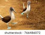 the blue footed booby in isla... | Shutterstock . vector #766486072
