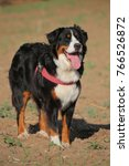 front view of a young bernese... | Shutterstock . vector #766526872