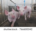 Two Cute Piglets In Pig Farm.