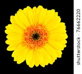 Yellow Gerbera Flower Head with Orange and Black Center  Isolated on Black Background - stock photo