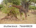 masai giraffe  scientific name  ... | Shutterstock . vector #766648828