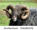 rare breed sheep with a dark...   Shutterstock . vector #766686196