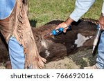 Small photo of Vet administering antibiotics or anaesthetic to a calf during branding and castration in a close up view of the hands and syringe