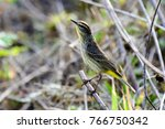 palm warbler on the ground | Shutterstock . vector #766750342