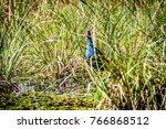 purple swamphen rare birds in... | Shutterstock . vector #766868512