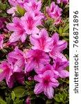 Pink Azalea Blossom....
