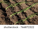 planting onion seedlings