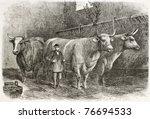 Old Illustration Of Big Oxes...