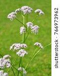 valerian  valeriana officinalis  | Shutterstock . vector #766973962