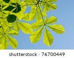 Horse Chestnut Or Conker Tree ...