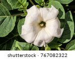 jimson weed  datura stramonium  ... | Shutterstock . vector #767082322