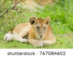 closeup of a  lion cub in the... | Shutterstock . vector #767084602