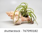 Horse Conch Seashell With...