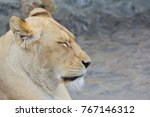 Young  Healthy Lioness Taking ...