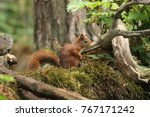Beautiful Red Squirrel In A...