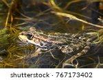 marsh frog in natural... | Shutterstock . vector #767173402