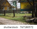Small photo of Wild Greylag geese in the village. Farmyard domestic goose.