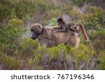 mother cape baboon with baby... | Shutterstock . vector #767196346