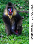 Portrait Of Mandrill Baboon.