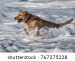 An Energetic Yellow Labrador...