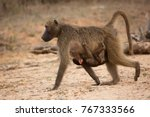 chacma baboon mother and... | Shutterstock . vector #767333566