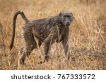 chacma baboon mother and... | Shutterstock . vector #767333572