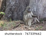 male chacma baboon sitting... | Shutterstock . vector #767339662