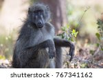 female chacma baboon sitting... | Shutterstock . vector #767341162