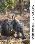 family chacma baboon resting on ... | Shutterstock . vector #767353342