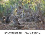 family chacma baboon resting on ... | Shutterstock . vector #767354542