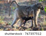 mother chacma baboon is leaving ... | Shutterstock . vector #767357512