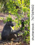 mother chacma baboon is... | Shutterstock . vector #767369602