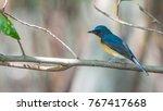 bird  tickell's blue flycatcher ...   Shutterstock . vector #767417668