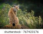 wild lynx portrait   Shutterstock . vector #767423176