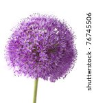 Purple Allium Isolated On White