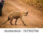 a spotted hyena crossing paths ... | Shutterstock . vector #767502706
