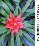 Small photo of The bromeliads are a family of monocot flower plants or Aechmea fasciata