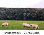 a sheep eating on green grass...