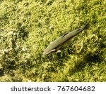 Small photo of trout at swan pond manlius new york